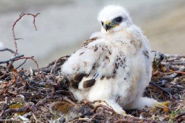 Rough-legged Buzzard (Buteo lagopus) chick in nest and lemming as prey. Novaya Zemlya, Arctic