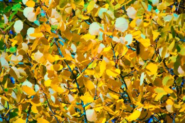 Autumn yellow foliage. Aspen leaves like gold coins. The contrast of yellow and blue sky mutually enhances color. Aspen - as symbol of Judas betrayal and Christ crucifixion, conveys shake of leaves
