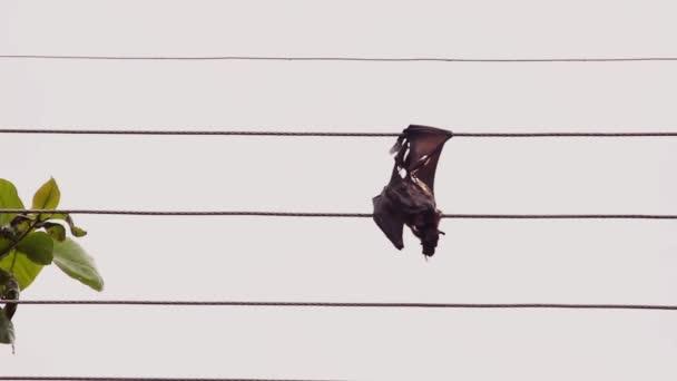 Fliegender Fuchs wurde bei Kollision mit Stromkabel getötet