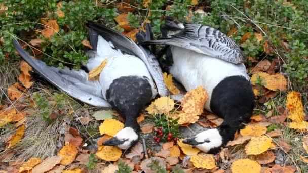 Trófeák Észak-vadászati liba