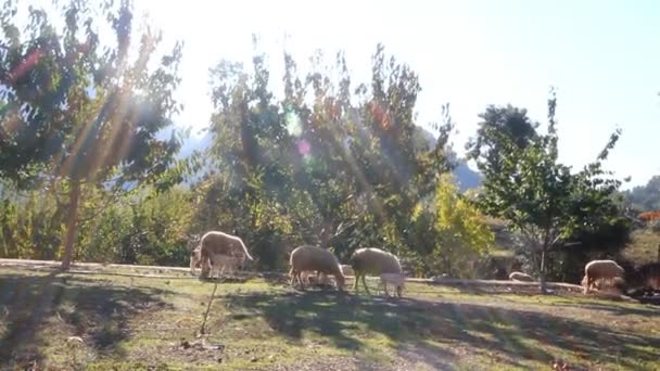 Sheep in  ray of  sun