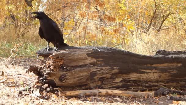 Mluvící vrána chytrý pták