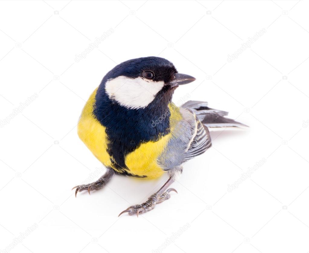 Πραγματικό πρώτο μεγάλο πουλί