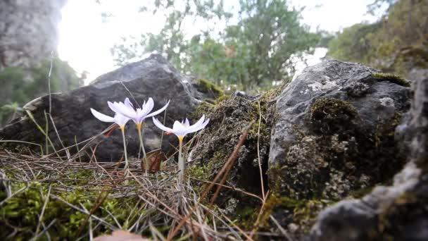 Crocus kvetou v horách střední značky na podzim