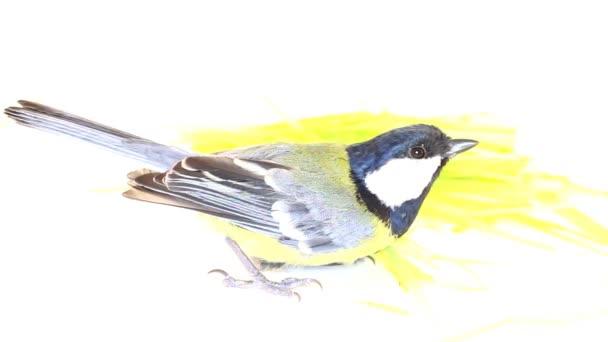 hellen Frühling Vogel Kohlmeise
