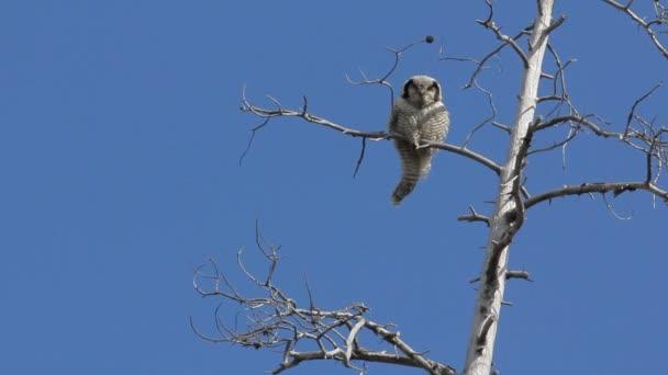 Velká sova křičí na suchý strom a otočí hlavu o 180 stupňů