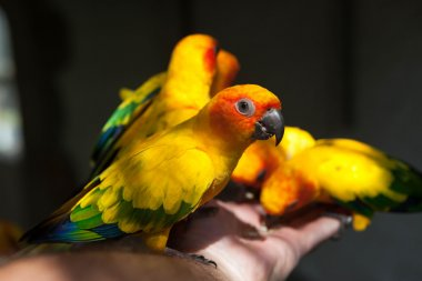 Beautiful yellow-green Eclectus parrots eats food with his hands.