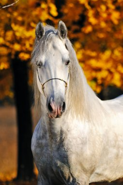 Portrait of beautiful gray horse in autumn forest