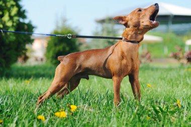 Puppy of Miniature Pinscher (Zwergpinscher, Min Pin) barking