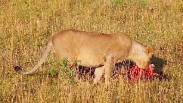 GNÚ holtan fekszik a fűben. maszáj mara
