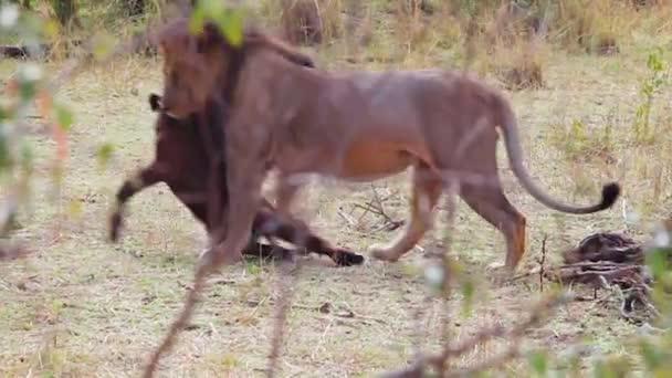 Löwenjunges tötet Gnu und zerrt ihn ins Gebüsch.