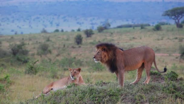 Lion and lioness mate. Masai Mara National Reserve, Kenya