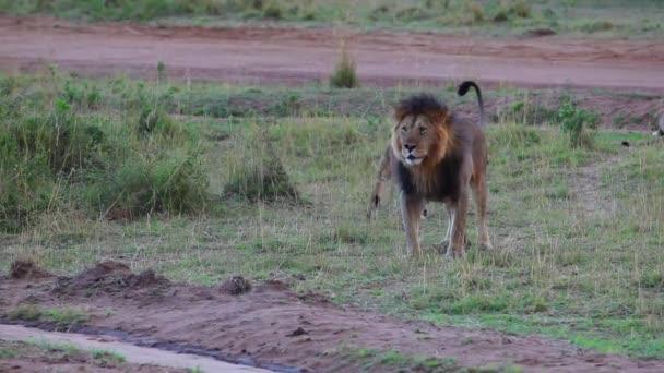 Leo és a büszkeség. oroszlán megvizsgálja a büszkesége területén.