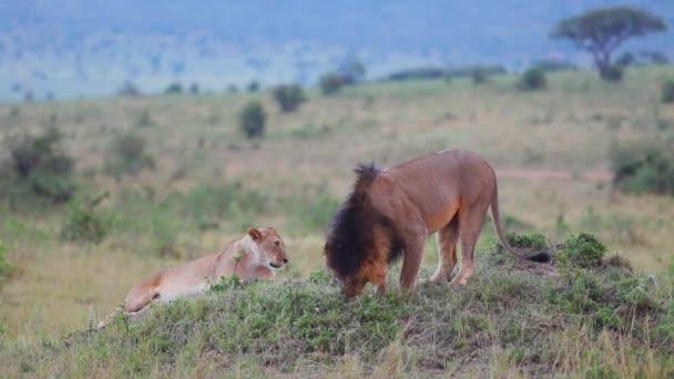 Lev popotahování v trávě. kontroly označené území.