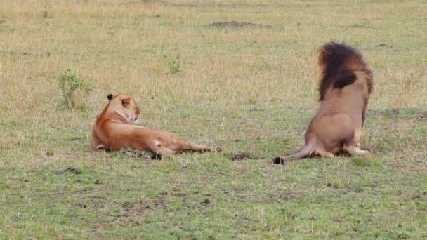 párzási oroszlánok. Safari. a hang