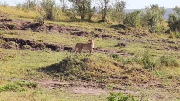 gepard, stojící na kopci a zobrazit oblast při hledání kořisti.