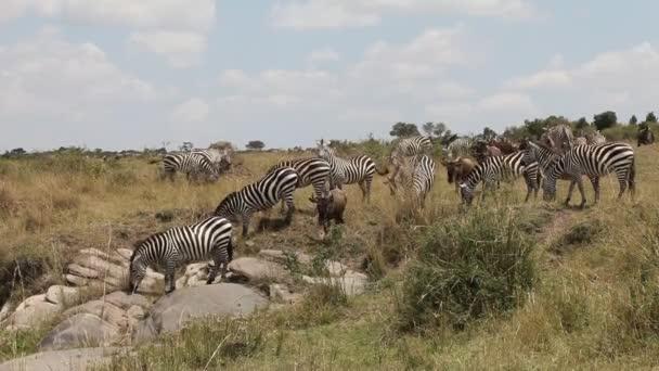 Migration von Zebras