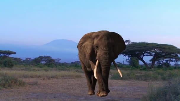 Slon. Kilimandžáro, Savannah. Večer.