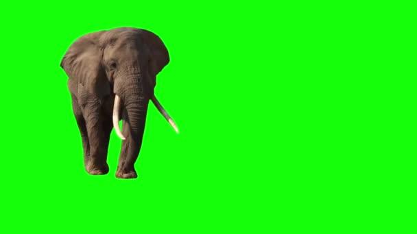 Slon africký, zavřete. Zelená obrazovka.