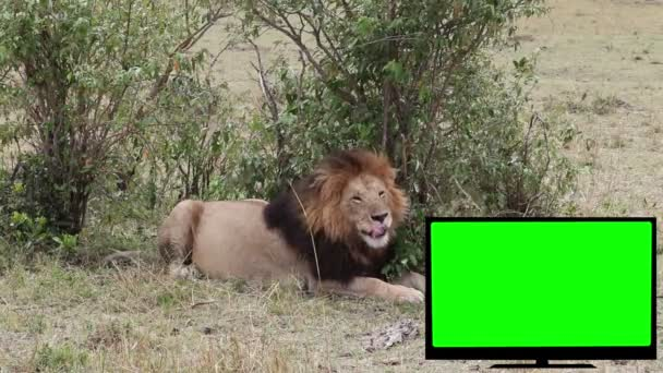 TV with green screen and a lion on the savannah.