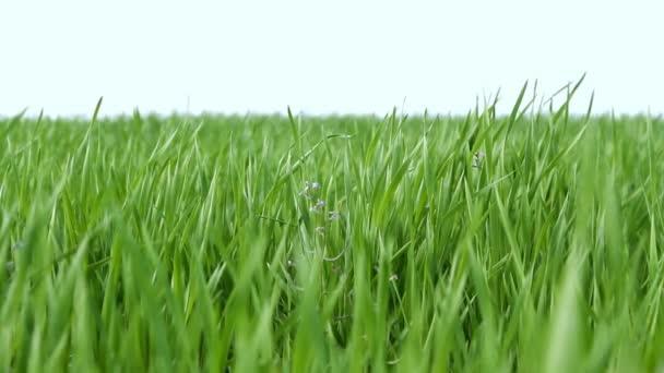 wind fluttering green grass over blue sky