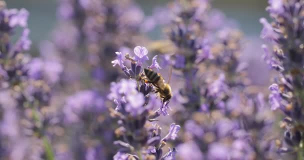 Levendula virág látogató méhek