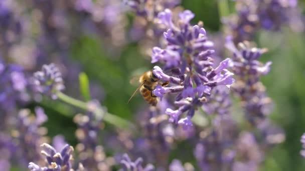 Levandulový květinový návštěvník včelami