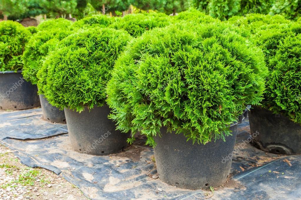 piante sempreverdi cipressi in vaso su tree farm foto stock chamillewhite 107080030. Black Bedroom Furniture Sets. Home Design Ideas