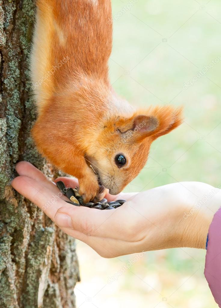 red european squirrel eating from hand
