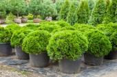Fotografie Cypresses plants in pots on tree farm