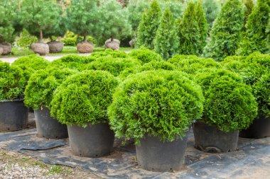 Cypresses plants in pots on tree farm