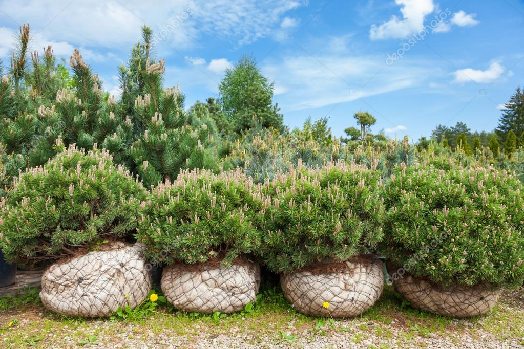 Pine on tree nursery farm
