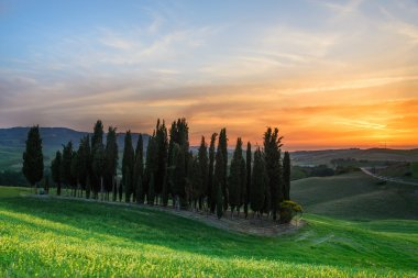Sunset over a group of cypress trees and yellow flowers near Torrenieri in the Val d Orcia valley in Tuscany, Italy. stock vector