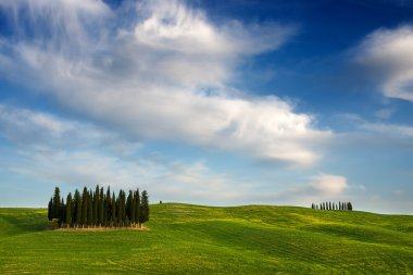 A group of cypress trees between green hills and yellow flowers and under beautiful white clouds near Torrenieri in the Valdorcia (Orcia valley) in Tuscany, Italy. stock vector
