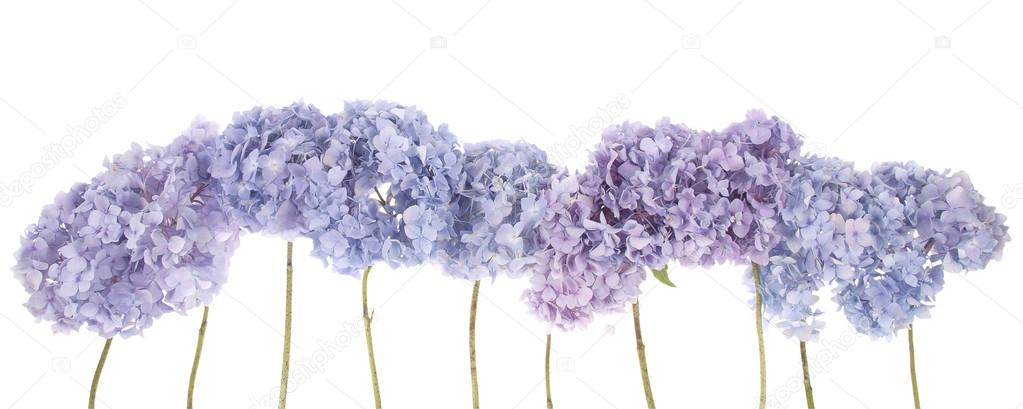Purple flowers hydrangea (Clipping path)
