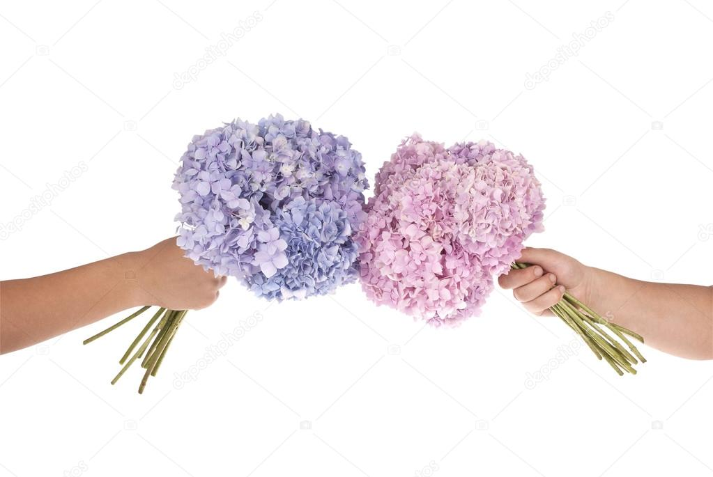 Pink and blue flower hydrangea in hands (Clipping path)