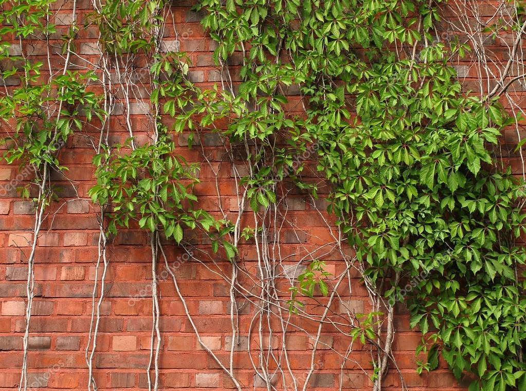 Brick wall and green ivy