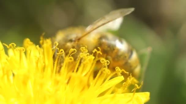 včela sbírá nektar na žluté pampelišky květiny
