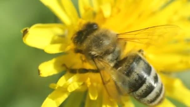 méh nektárt gyűjt egy sárga pitypang virág