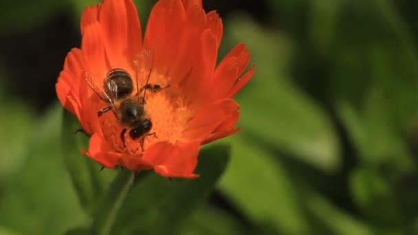 Bee pollen gyűjtése a narancs virág