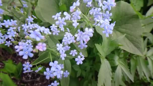 kék Nefelejcs, nem a természetben