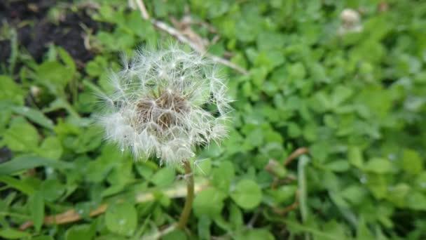Blízkou Dánovi v zelené trávě/Foupačku v zelené trávě
