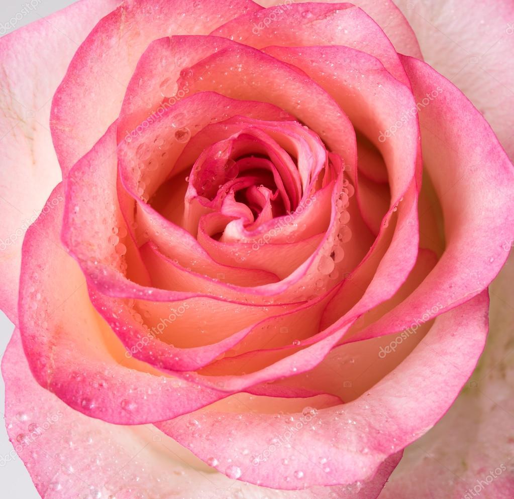 Fresh Pale Pink Rose Stock Photo Manera 104533950
