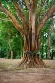 Posvátné, vysvěcen strom v jihovýchodní Asii
