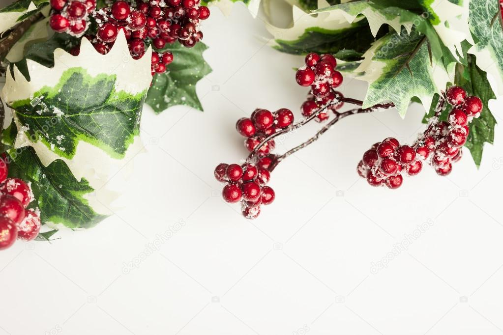 european holly on white background