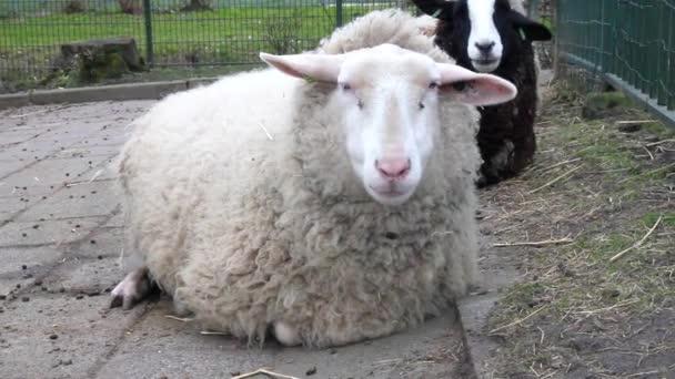 ovce na farmě