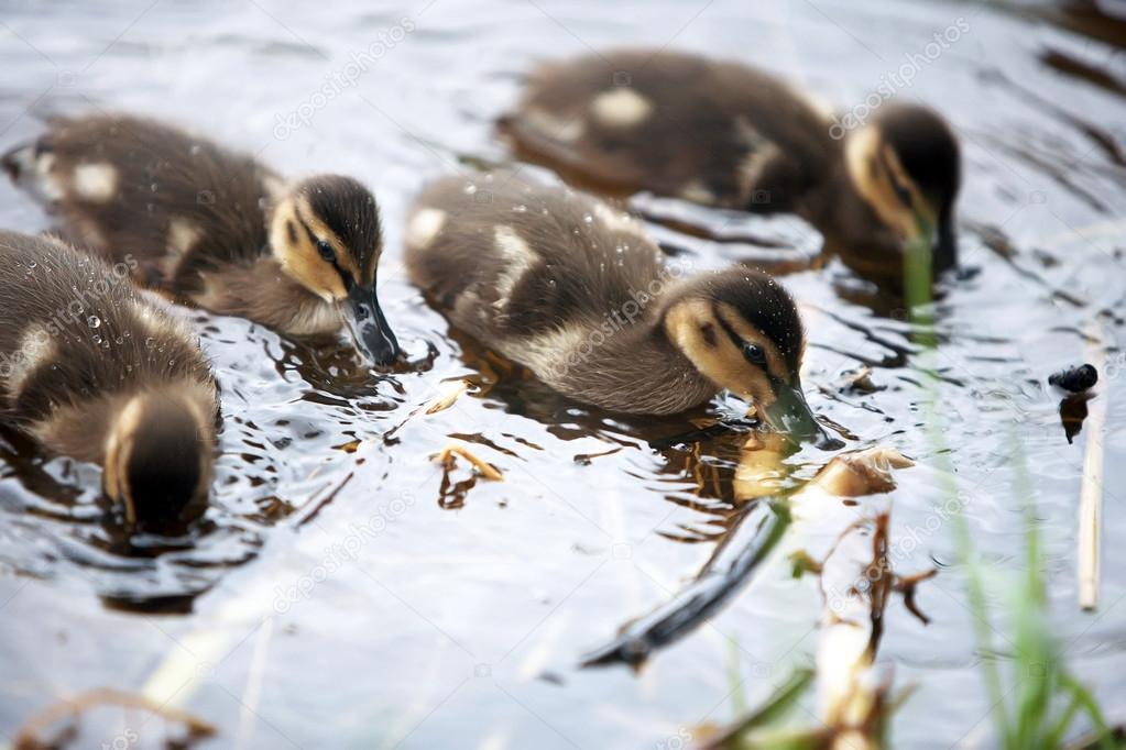 cute ducks in water.