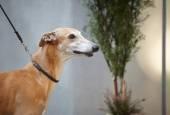 Olasz grayhound kutya portré