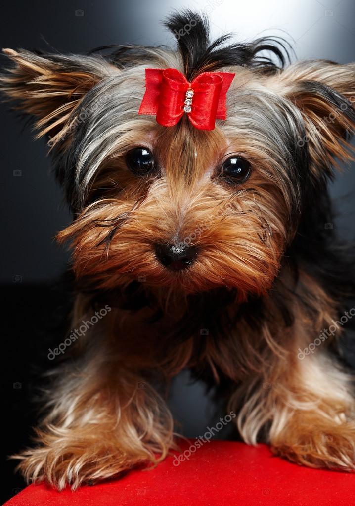 Mały Pies York Zdjęcie Stockowe Fxquadro 74021395