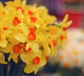 Fotografie Narcis žlutý květ